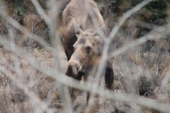 Female Moose Alberta Canada