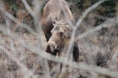 Female Moose Alberta Canada