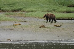 Prowling Grizzly Knutzeymateen Inlet British Colombia Canada