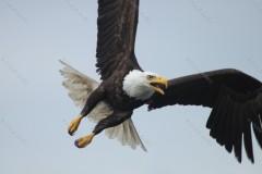 Swooping Bald Eagle Prince Rupert British Columbia Canada
