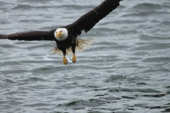 Bald Eagle Prince Rupert British Columbia Canada