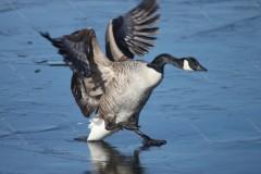 Canada Goose Derwentwater Cumbria UK