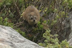 Rock Dassie Table Mountain Cape Town South Africa