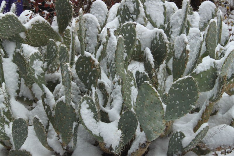 Prickly Pear Cacti in the Snow Sedona Arizona USA